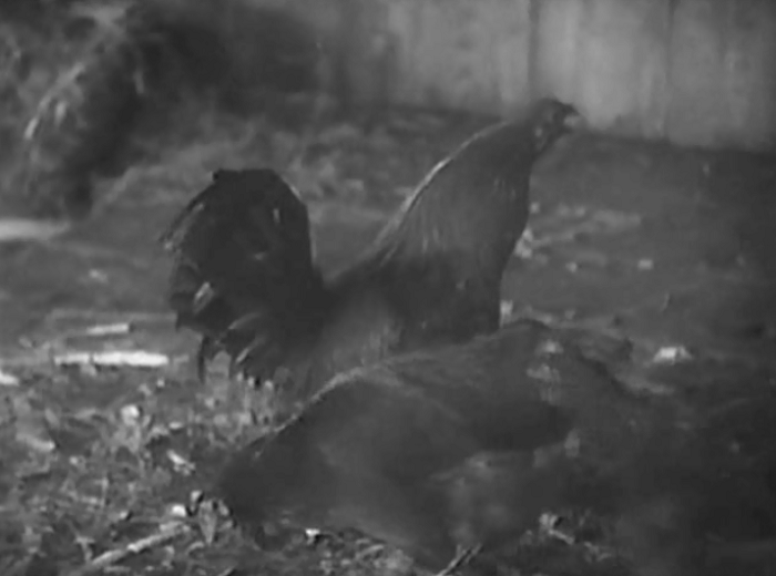 There's also this shot of a rooster from shortly before the rape scene, which means that they at least got away with showing a cock in the movie.