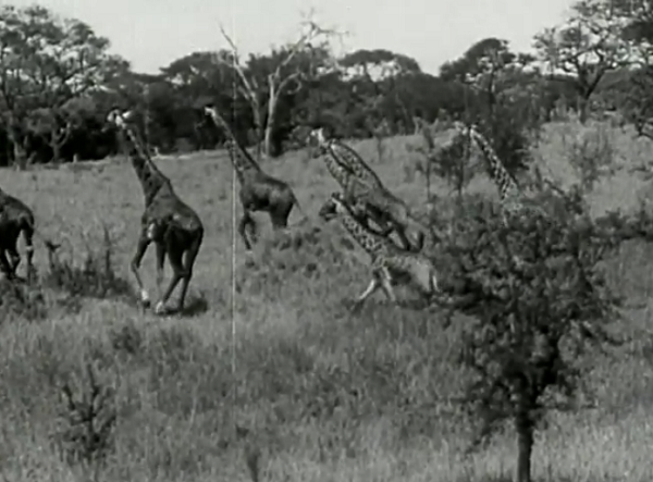 Definitely one of those films which reminds me of just how goofy giraffes look, especially when they're running.